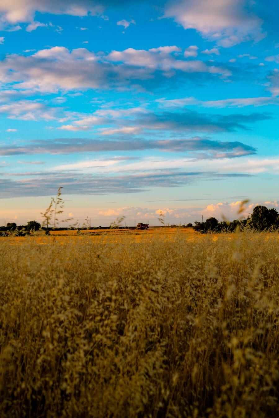Feld, landwirtschaftlich, Weizen, Weizenfeld, Tageslicht, sonnig, Tag, Sommer, des ländlichen Raums, Getreide