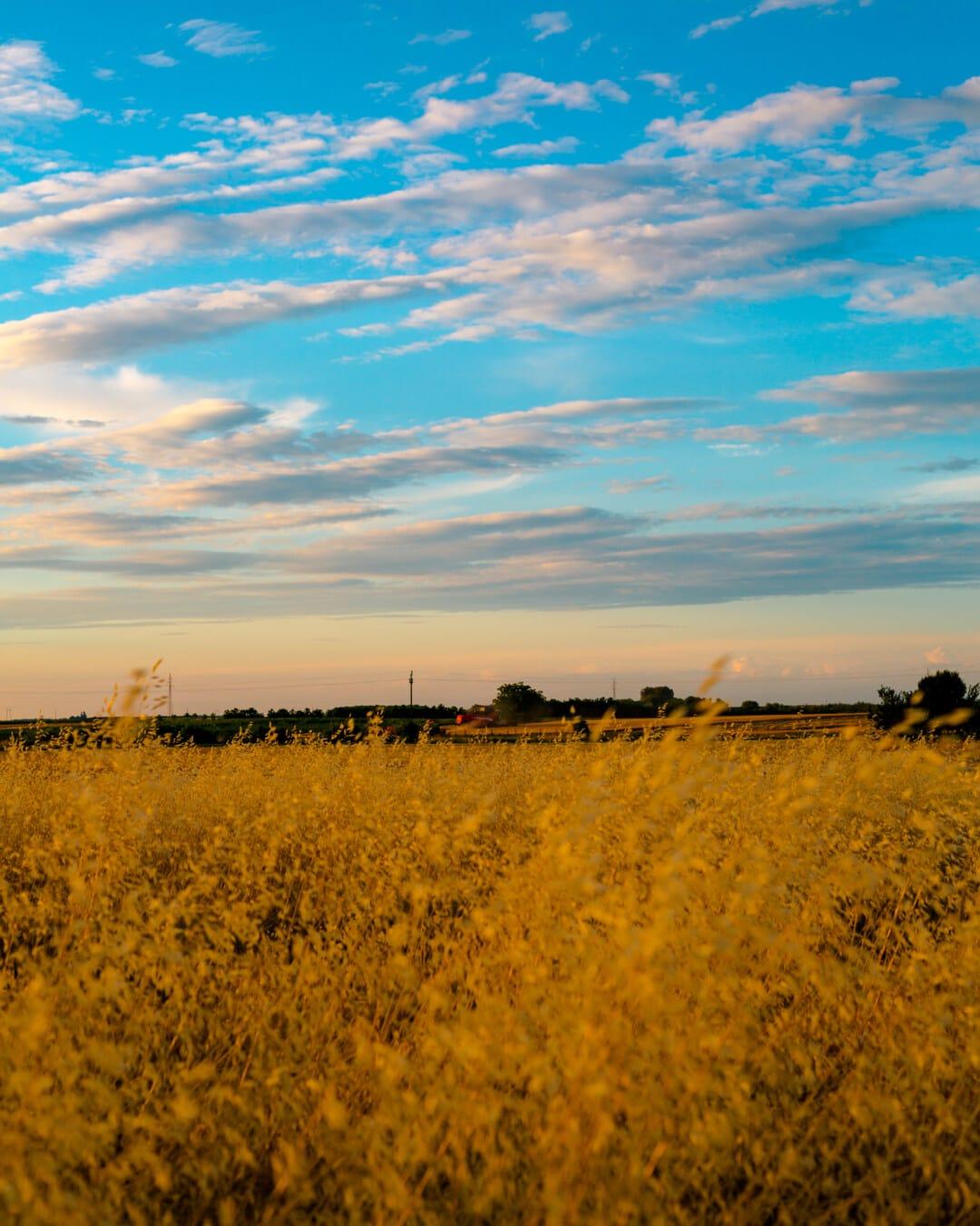grass, high, yellow leaves, grassland, grassy, rural, field, landscape, seed, sunset