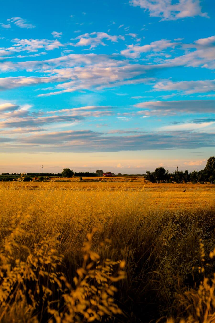 agriculture, field, grass, high, dry season, summer, dry, rural, dawn, sunset
