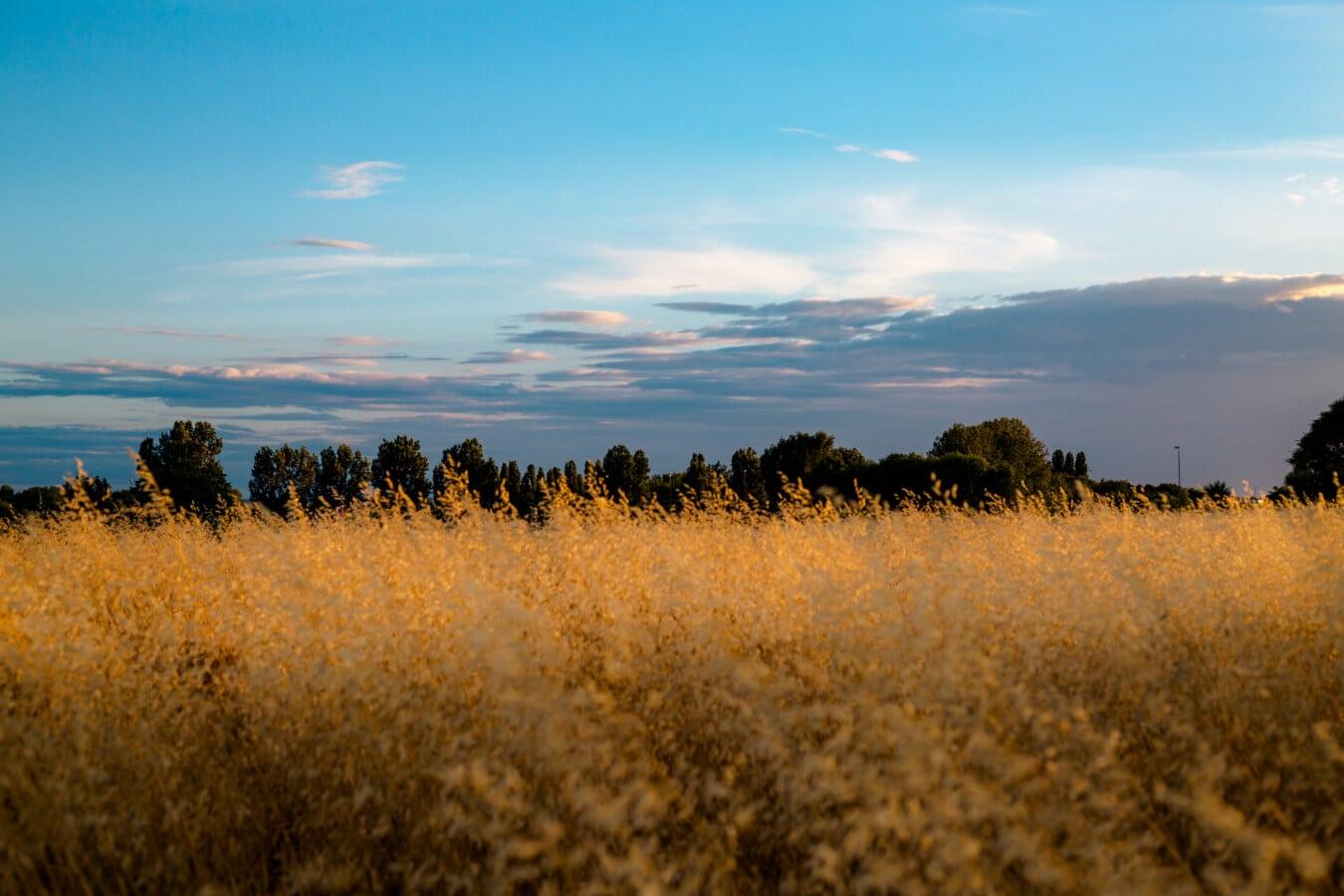 Gras, Trockenzeit, grasbewachsenen, Graspflanzen, trocken, Tierwelt, Atmosphäre, Landschaft, Dämmerung, Natur