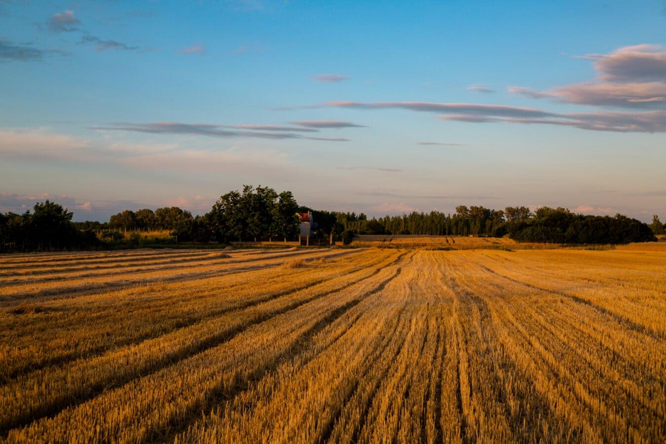 blé, champ de blé, harvest, paysage, campagne, rural, ferme, domaine, Agriculture, coucher de soleil