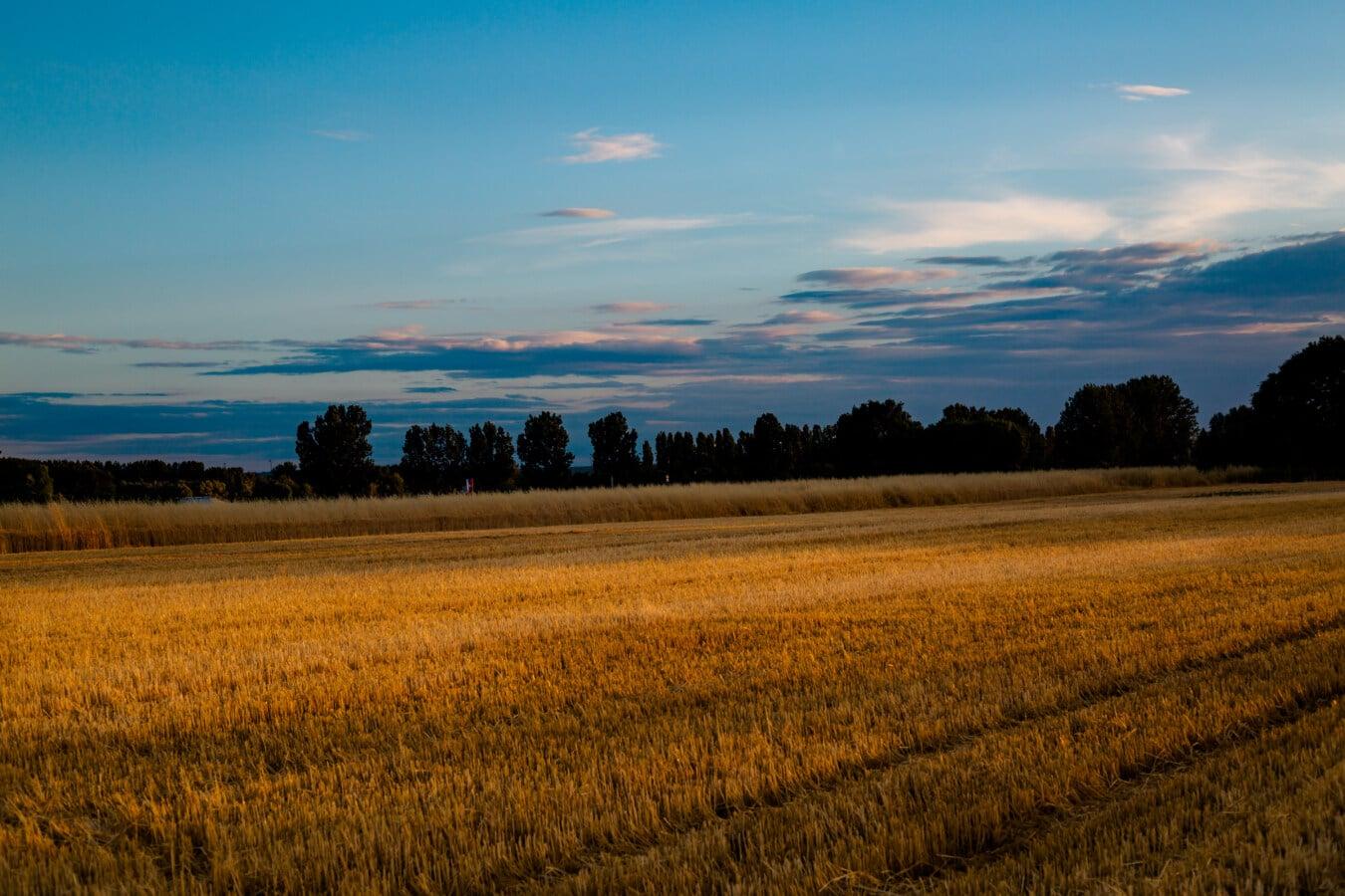 Dämmerung, Dämmerung, Weizenfeld, Feld, Weizen, Landwirtschaft, Landschaft, Sonnenuntergang, Gras, des ländlichen Raums