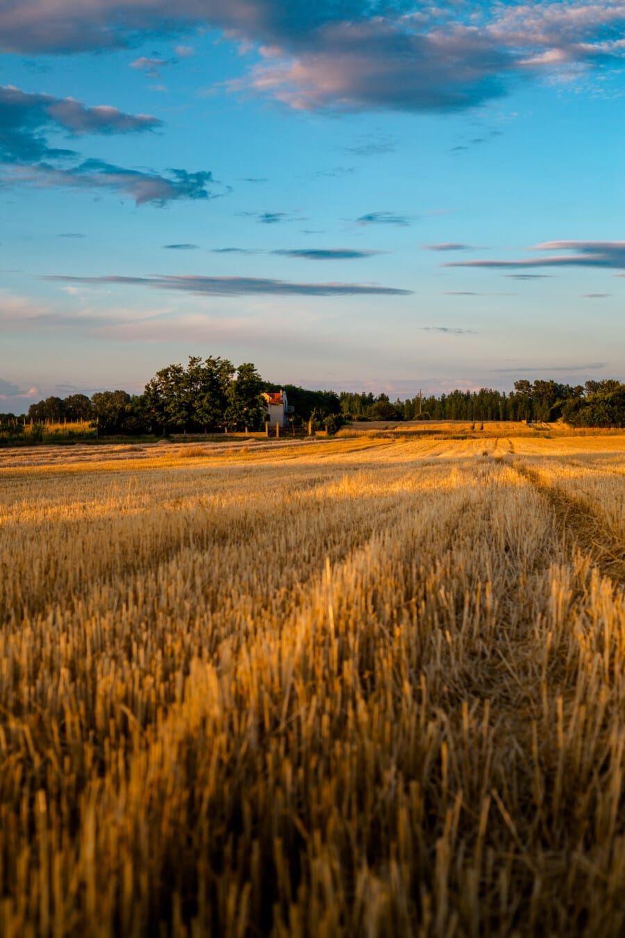 agriculture, wheatfield, wheat, rural, countryside, grass, dawn, landscape, sunset, field