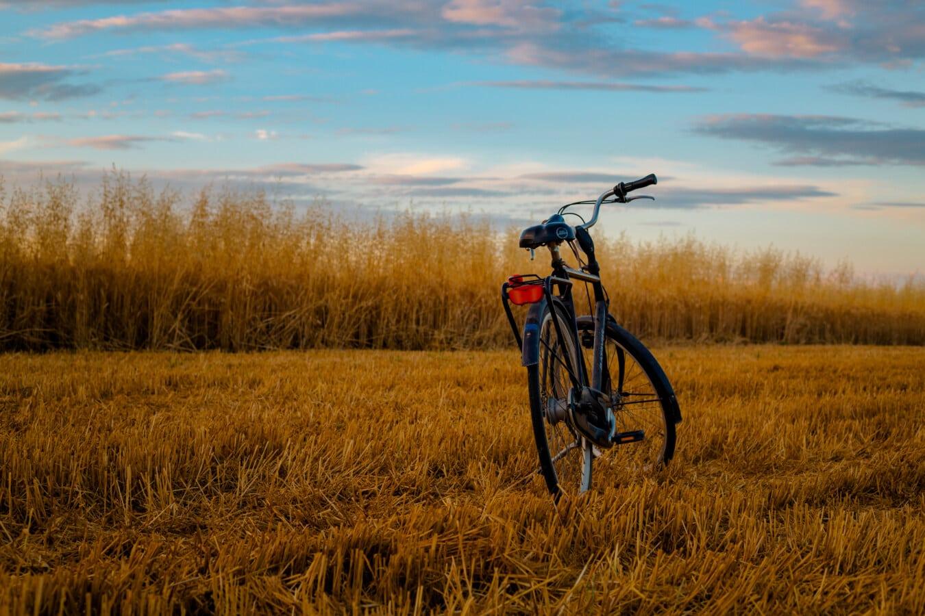 champ de blé, blé, vélo, domaine, vélo de montagne, coucher de soleil, paysage, roue, à l'extérieur, nature