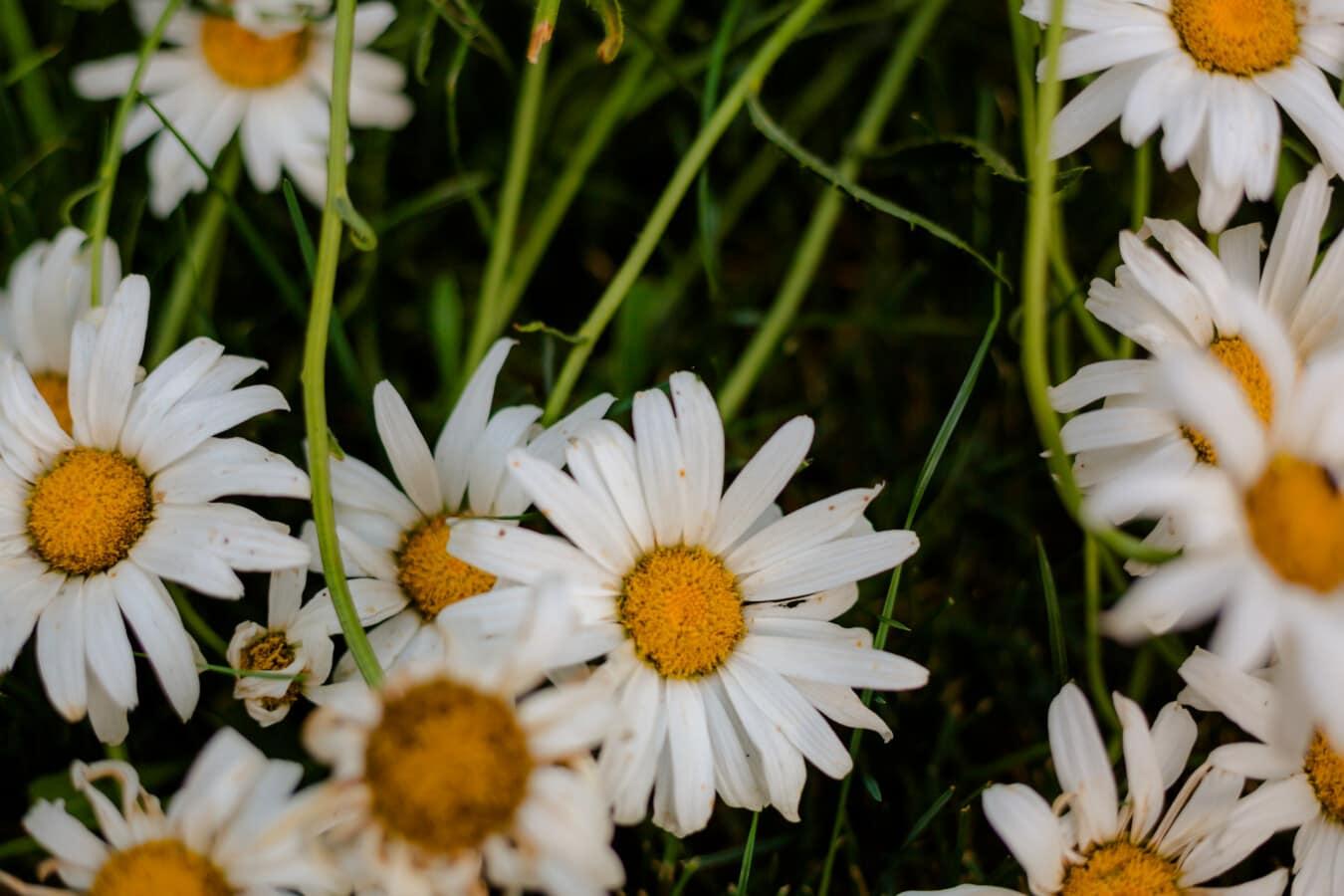 camomilla, da vicino, fauna selvatica, fiore selvaggio, erba, aromatico, fiorire, Giardino, estate, natura