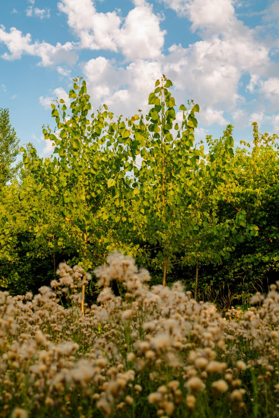 nyár, erdő, füves, vadvirág, vidéki, fa, növény, természet, nyári, virág