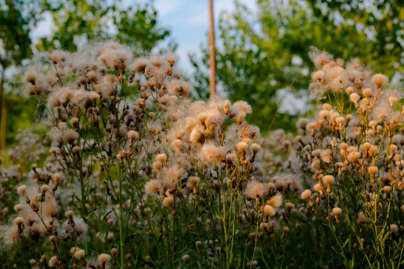 cotton grass, grassy, weed, flower, fair weather, nature, plant, tree, grass, summer