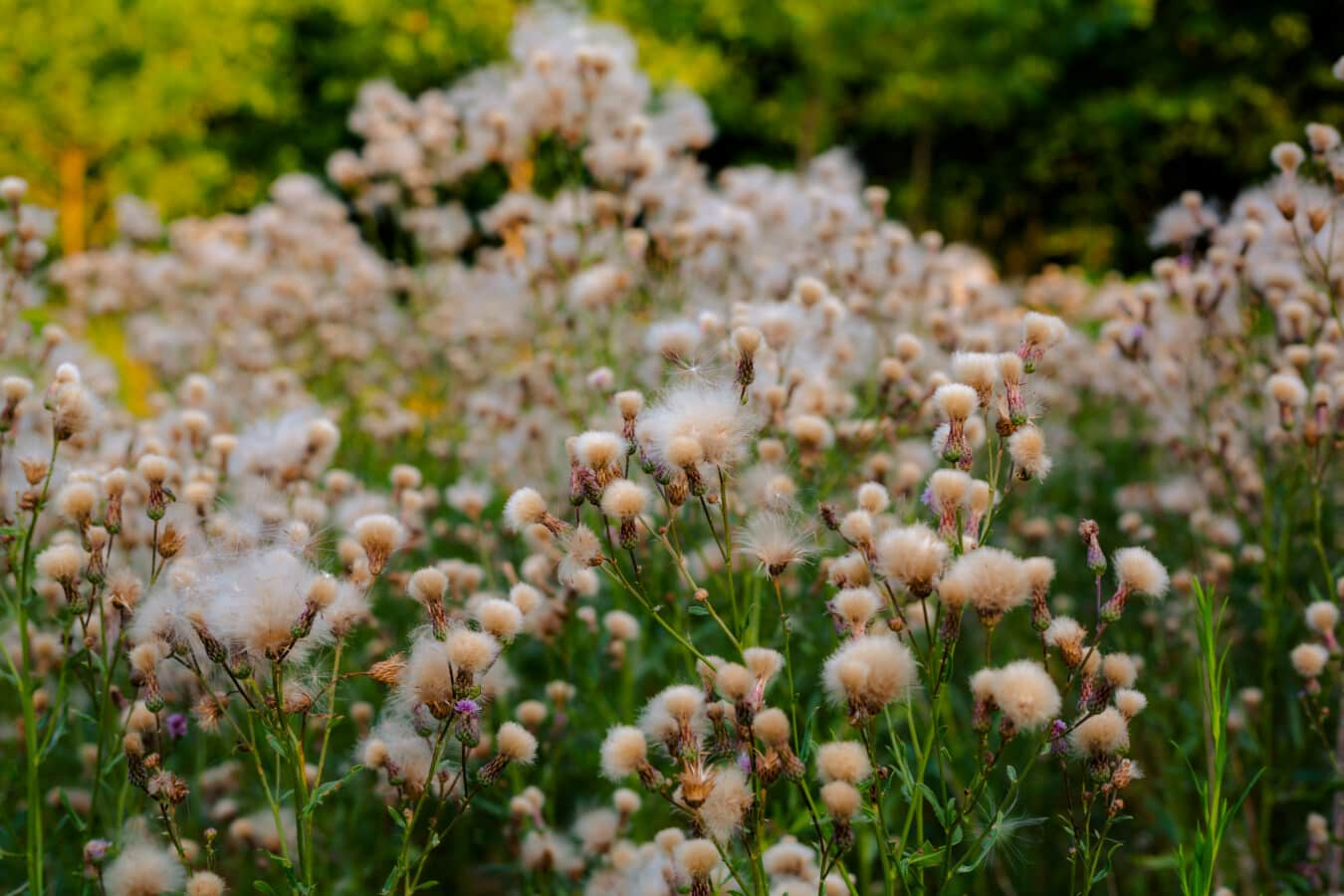 wildflower, blooming, grass plants, cotton grass, weed, plant, nature, flower, herb, outdoors