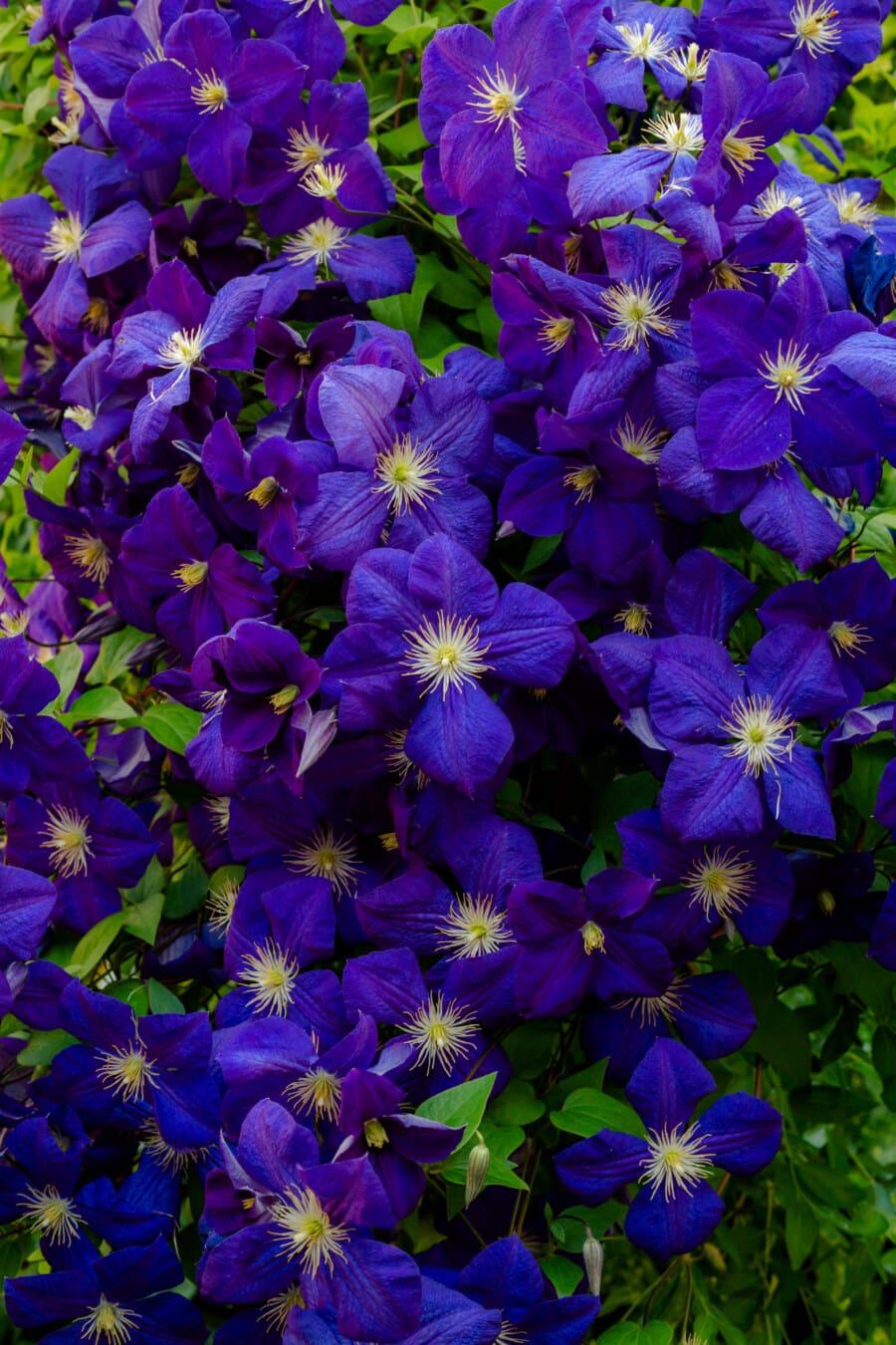 Clematis, lila, Blumengarten, Blumen, Flora, Natur, Viola, Kraut, Blatt, Anlage