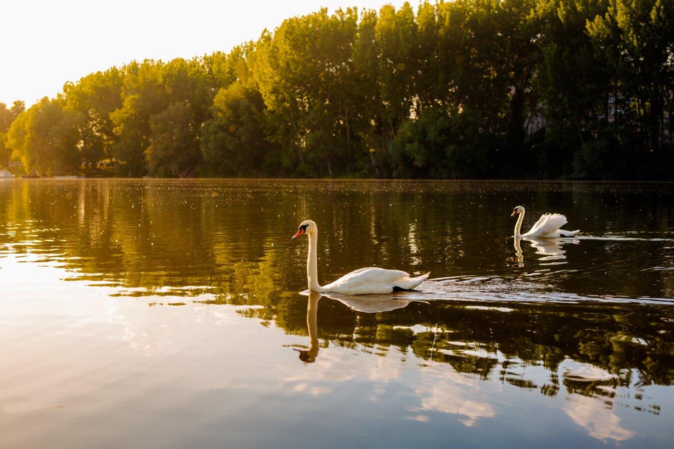 Schwan, majestätisch, Sonnenlicht, Schwimmen, Anmut, Wasser, Landschaft, See, Struktur, Fluss