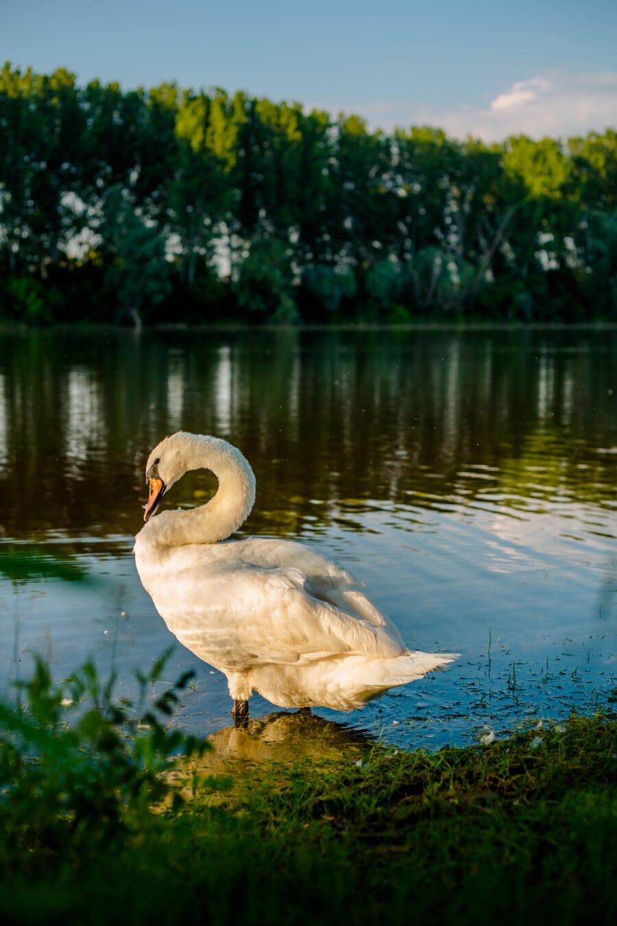 Schwan, majestätisch, Anmut, spektakuläre, Vogel, Tier, See, Wasservögel, aquatische Vogel, Tierwelt
