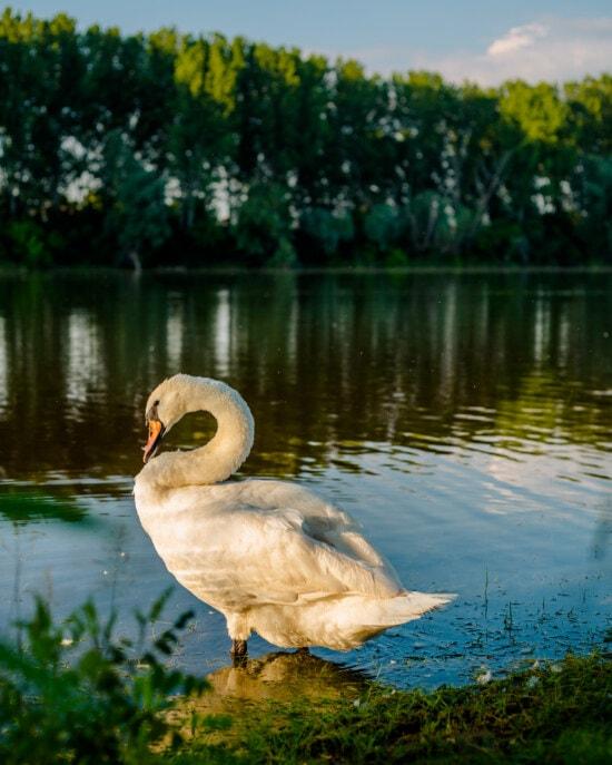 cygne, berge, debout, cou, la grâce, vue de côté, Lac, oiseau, nature, sauvagine