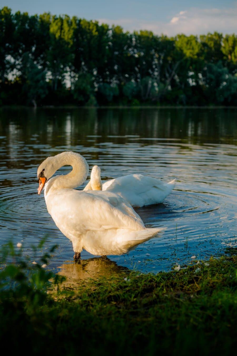 Schwan, stehende, schöne, Hals, Anmut, Tierwelt, Wasservögel, Vogel, aquatische Vogel, See