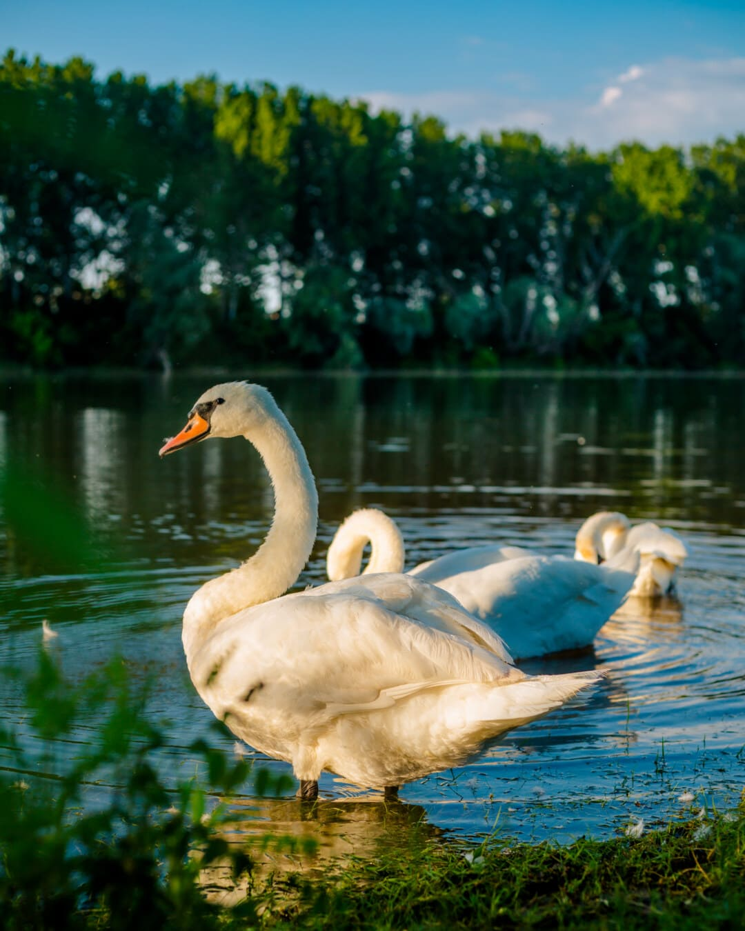 flock, swan, bird family, birds, sunny, lakeside, water, aquatic bird, swimming, waterfowl