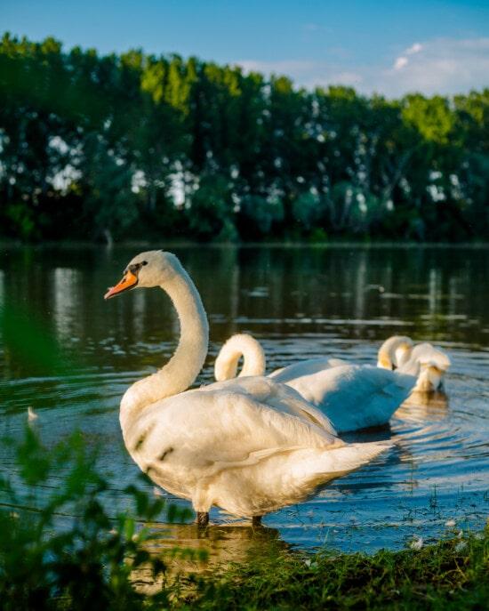 troupeau, cygne, famille d'oiseaux, oiseaux, ensoleillée, au bord du lac, eau, oiseaux aquatique, piscine, sauvagine