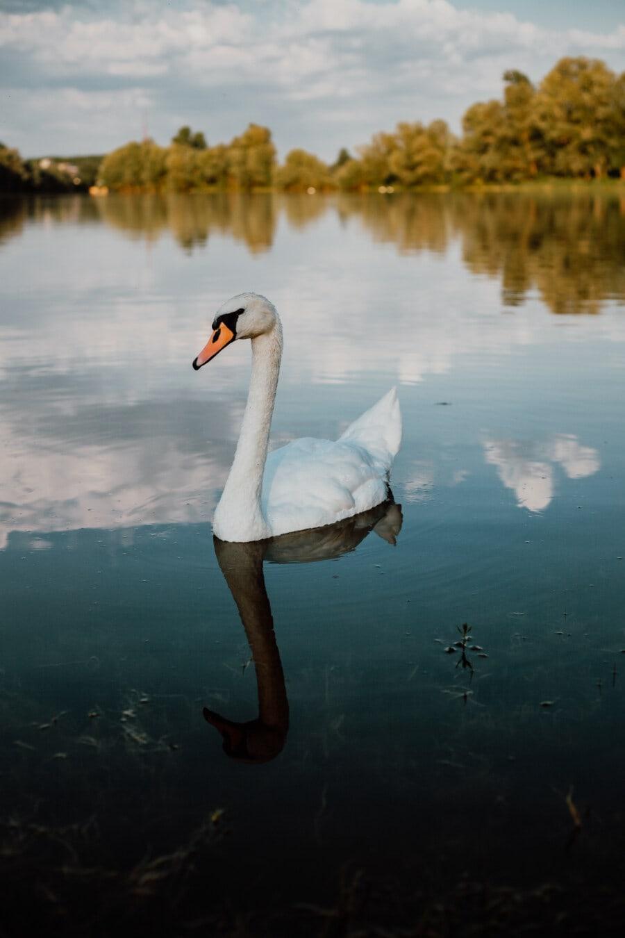 curious, swan, young, neck, grace, lake, water, waterfowl, goose, bird