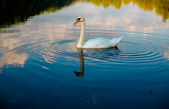 piscine, cygne, vagues, eau, ondulation, nature, oiseaux aquatique, Lac, oiseau, sauvagine