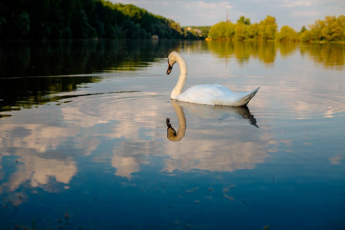 oiseau, jeune, cygne, seul, eau, réflexion, Lac, nature, rivière, aube