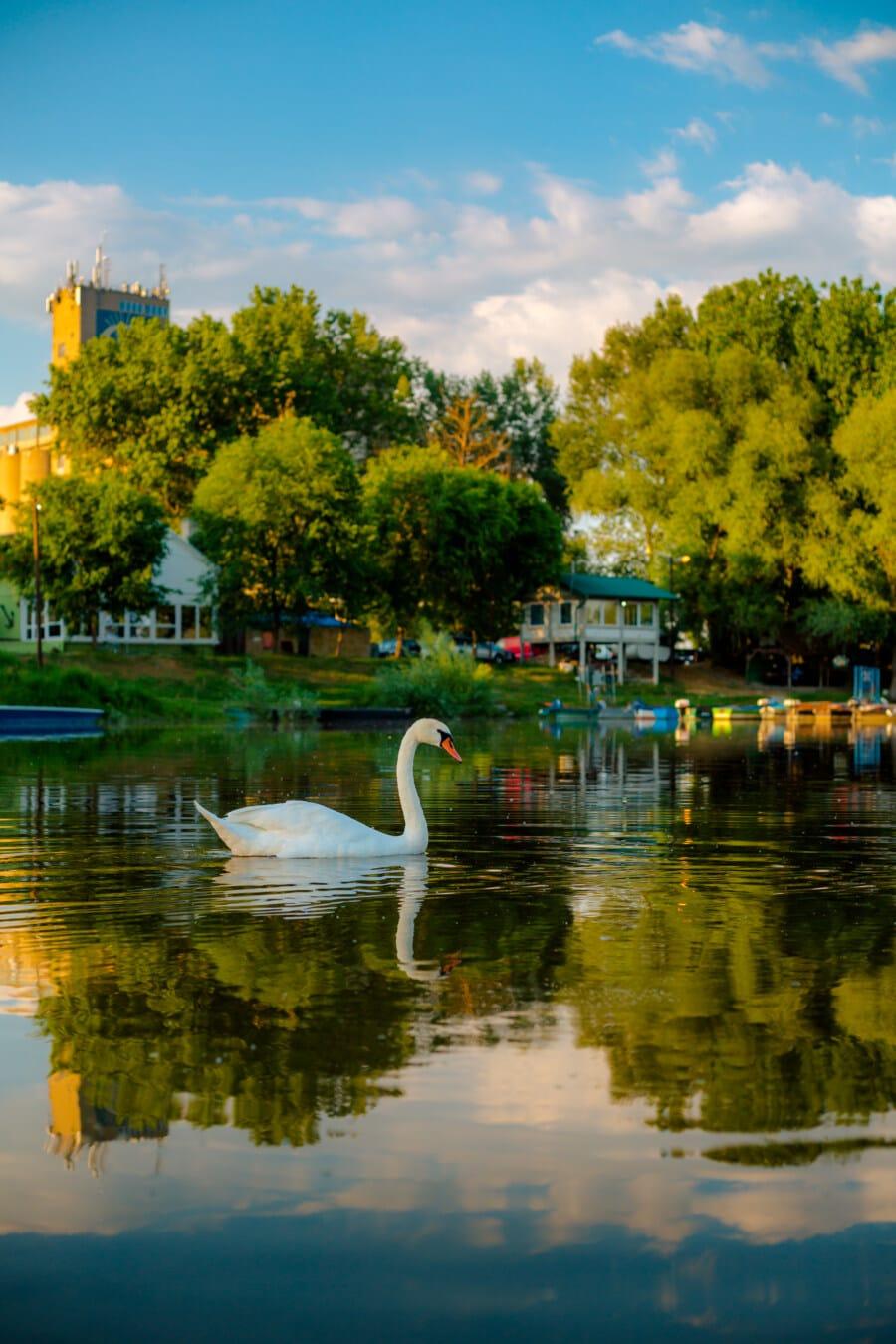 labud, jezero pejzaž, gracioznost, veličanstven, ptica, plivač, voda, odraz, jezero, krajolik
