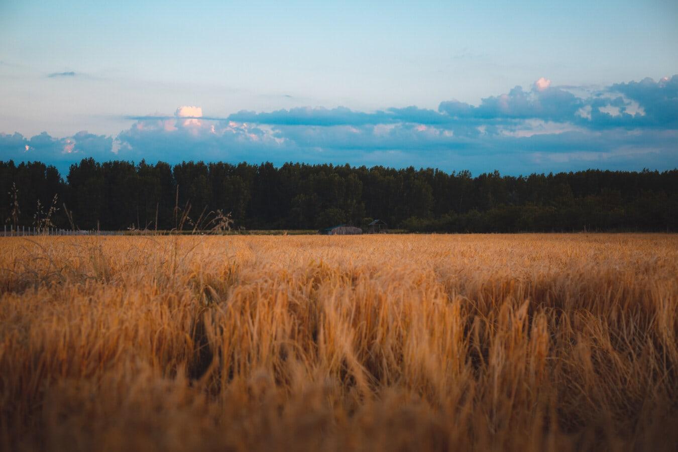 wheat, wheatfield, dusk, atmosphere, calm, field, dawn, rural, sunset, landscape