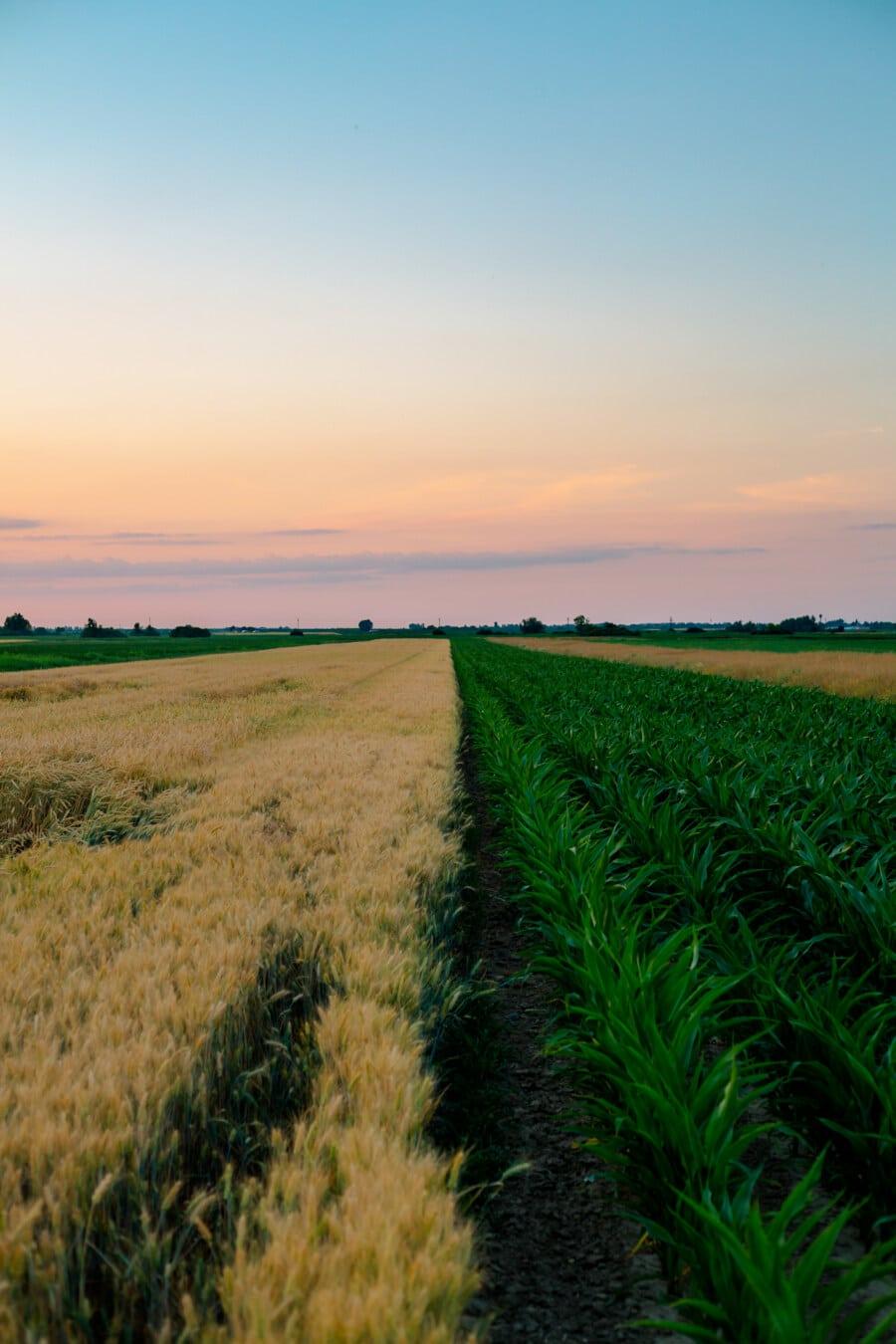 viljapelto, maissi, vehnä, Wheatfield, maatalous, kenttä, maisema, maaseudun, ruoho, maatila