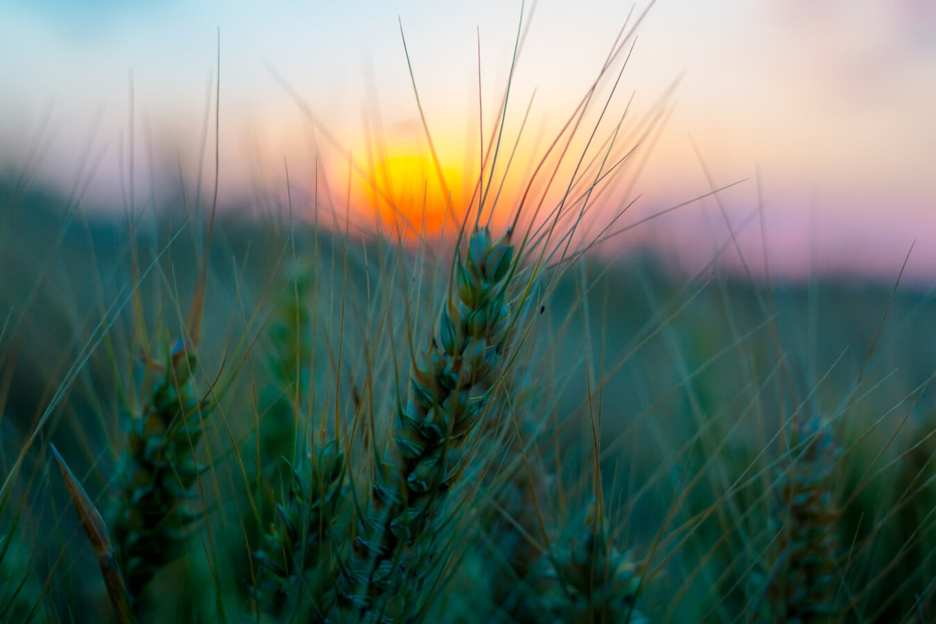 seed, close-up, barley, straw, agriculture, field, landscape, sunset, majestic, cereal