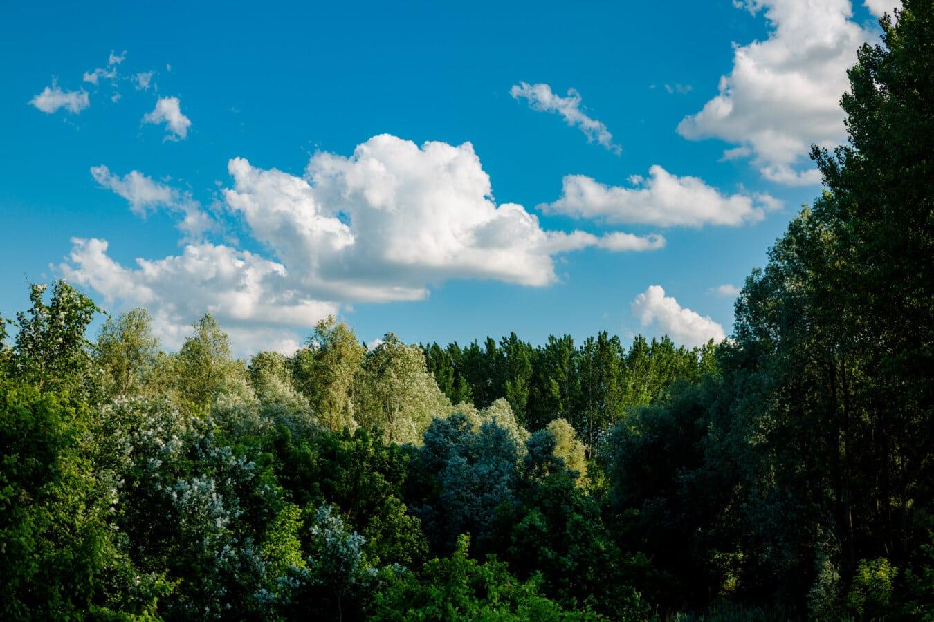 peuplier, forêt, ombre, ciel bleu, atmosphère, paysage, bois, arbre, nature, été