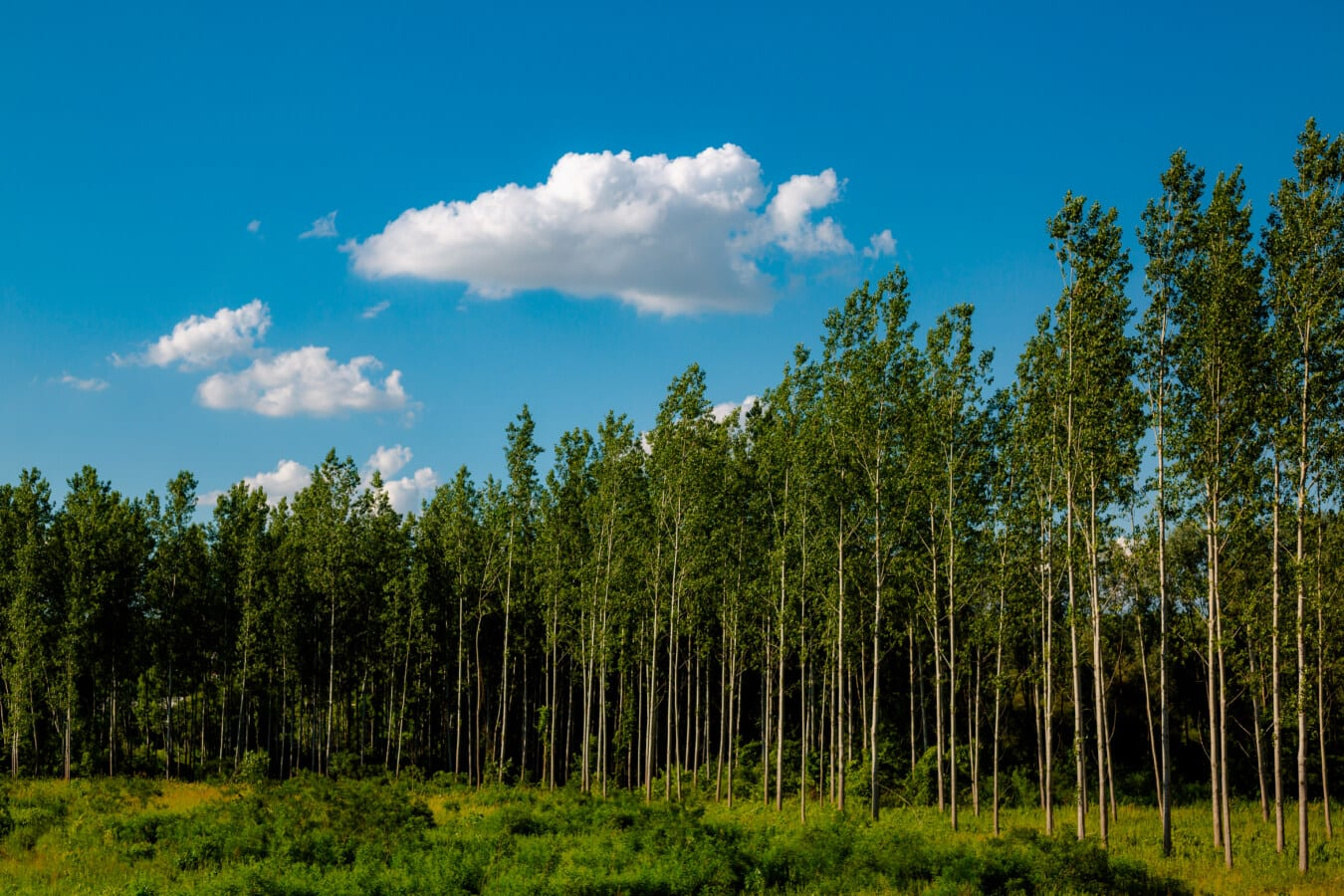 young, forest, poplar, greenery, trees, wood, landscape, nature, tree, grass