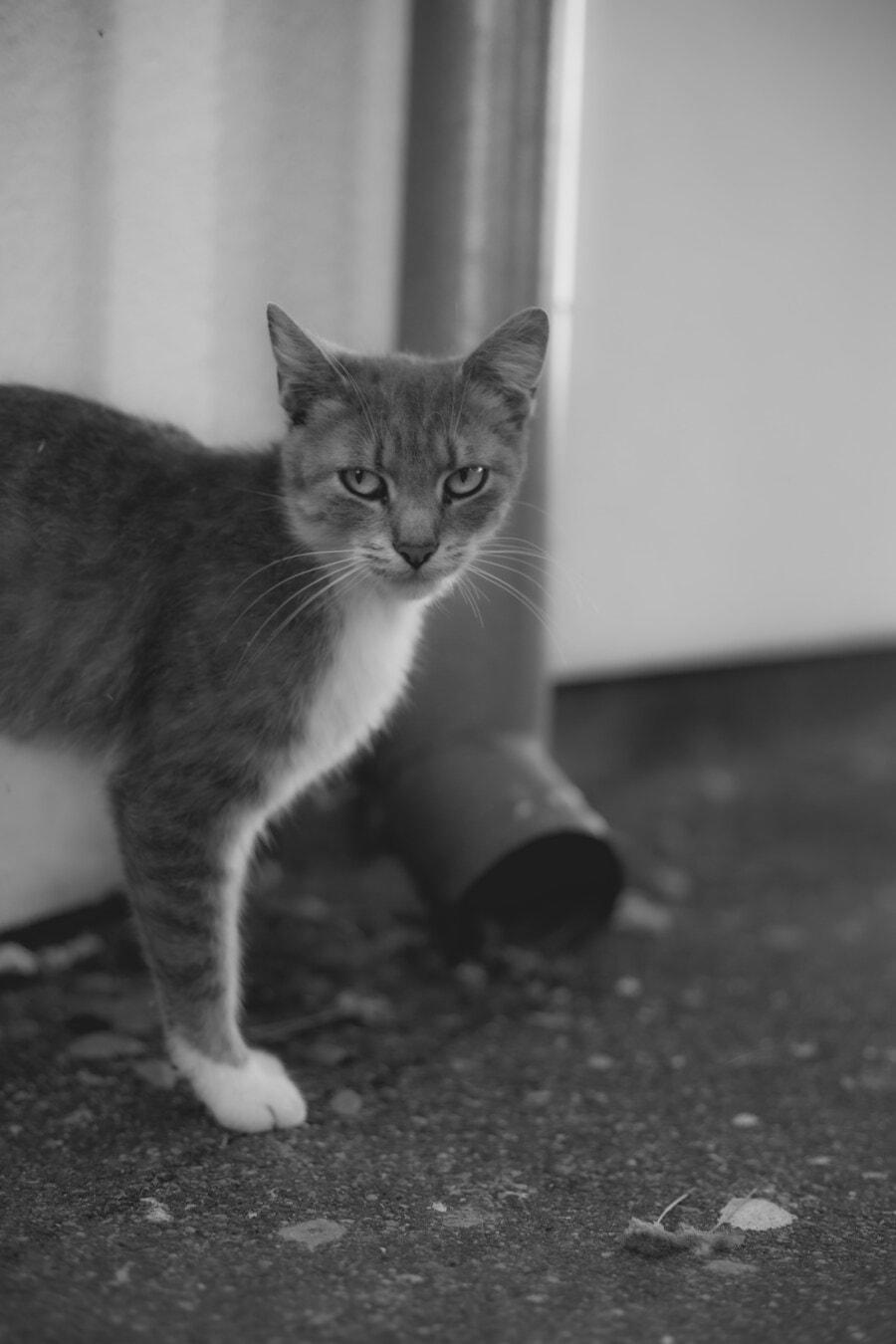 gattino, gatto domestico, grigio, bianco e nero, bianco e nero, gatto, animale domestico, gattino, carina, pelliccia
