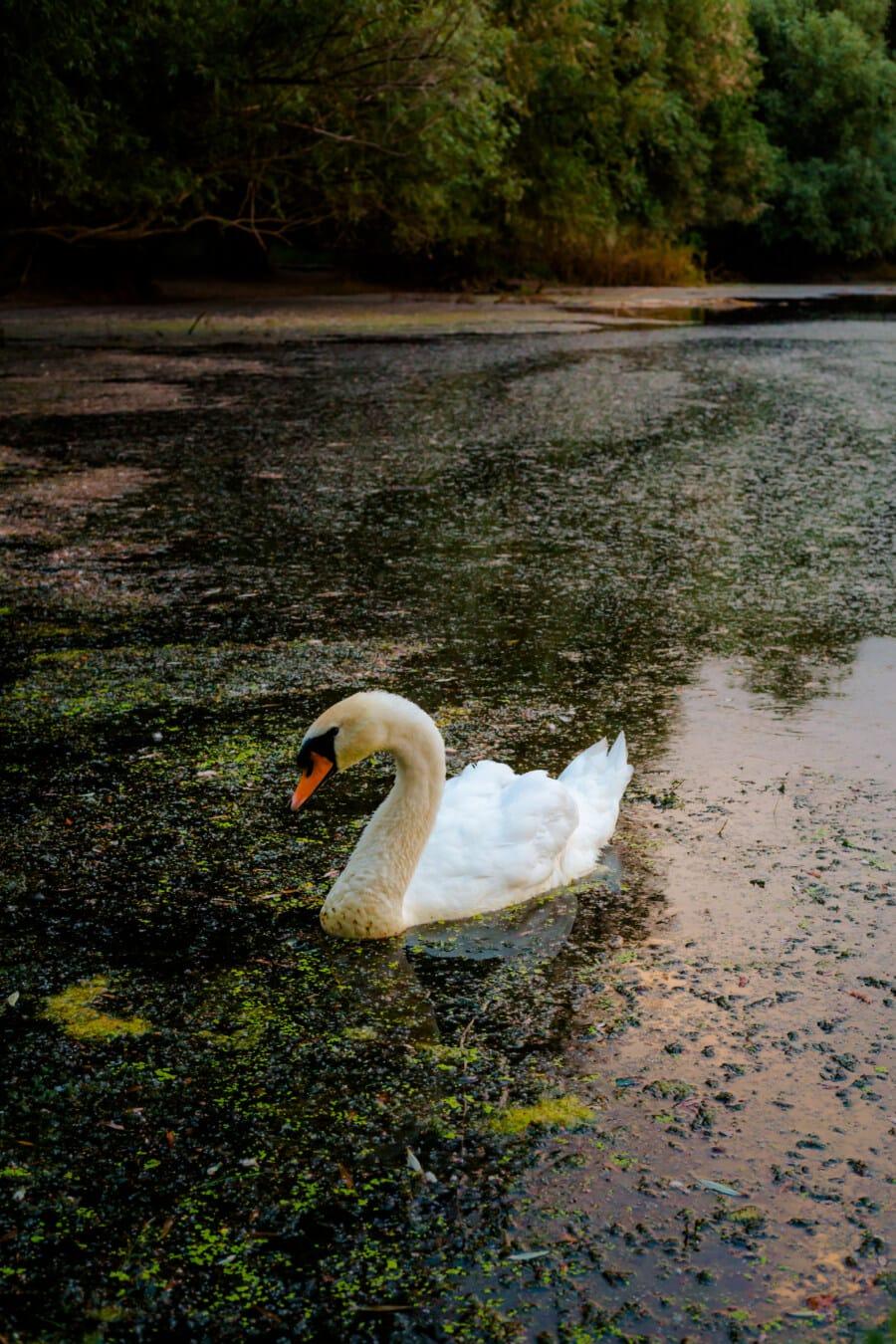 Sumpf, Marschland, aquatische Vogel, Wasserpflanze, Schwan, Wildnis, Tierwelt, Vogel, Wasservögel, Schnabel