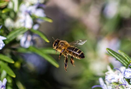 macro, abeille, insecte, abeille, en volant, fermer, fleur, nature, à l'extérieur, plante
