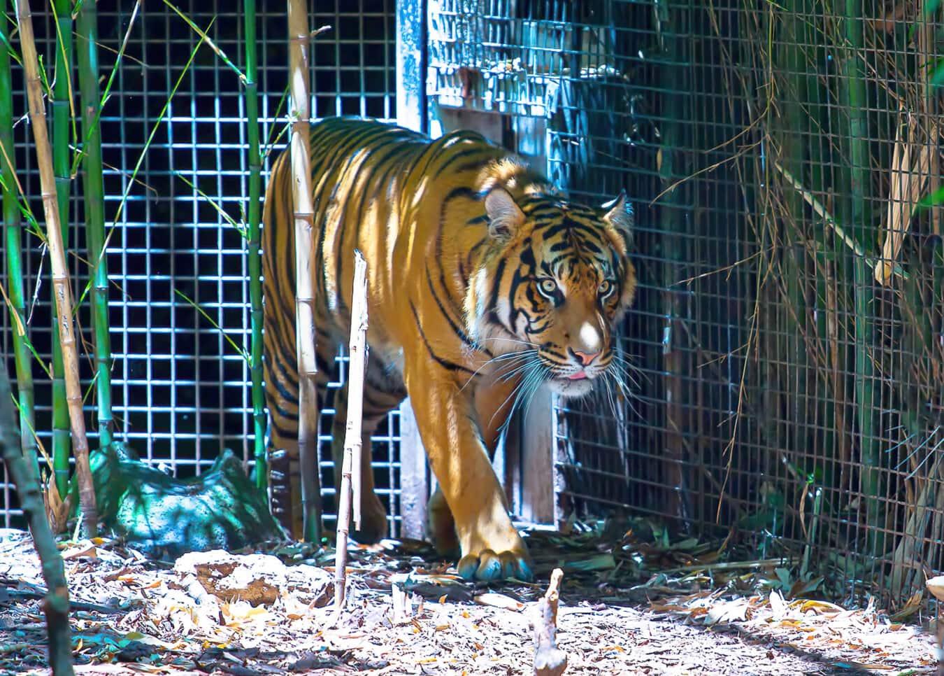 Tiger, Predator, Pelz, katze, wild, katzenartig, Tierwelt, Streifen, Dschungel, groß
