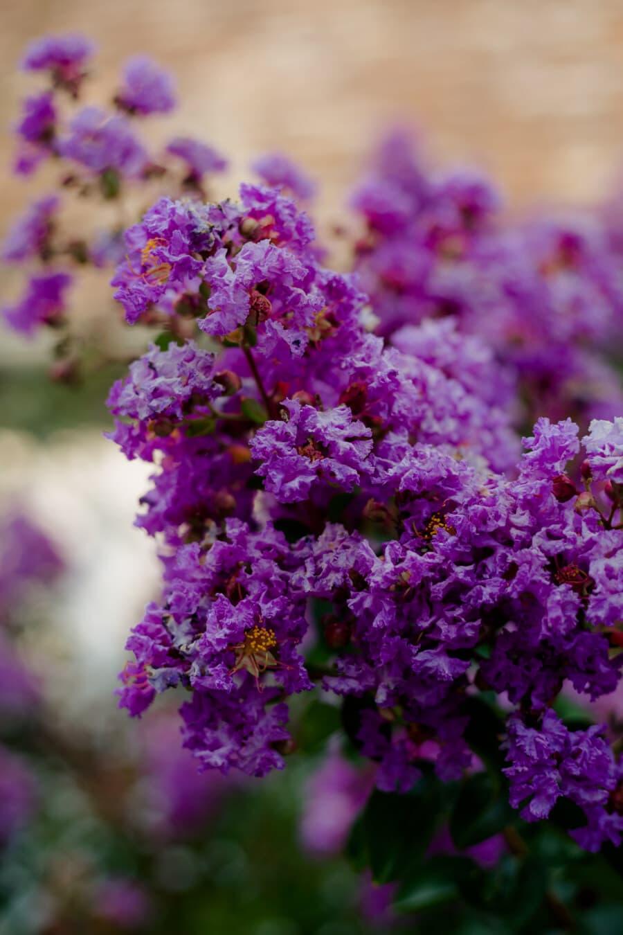 Blumen, Geäst, lila, Flora, Anlage, Garten, Blume, Sommer, Strauch, Natur