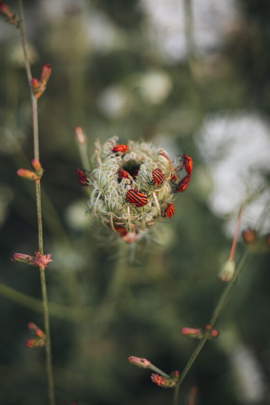 beetle, insect, dark red, flower, nature, plant, outdoors, summer, leaf, flora