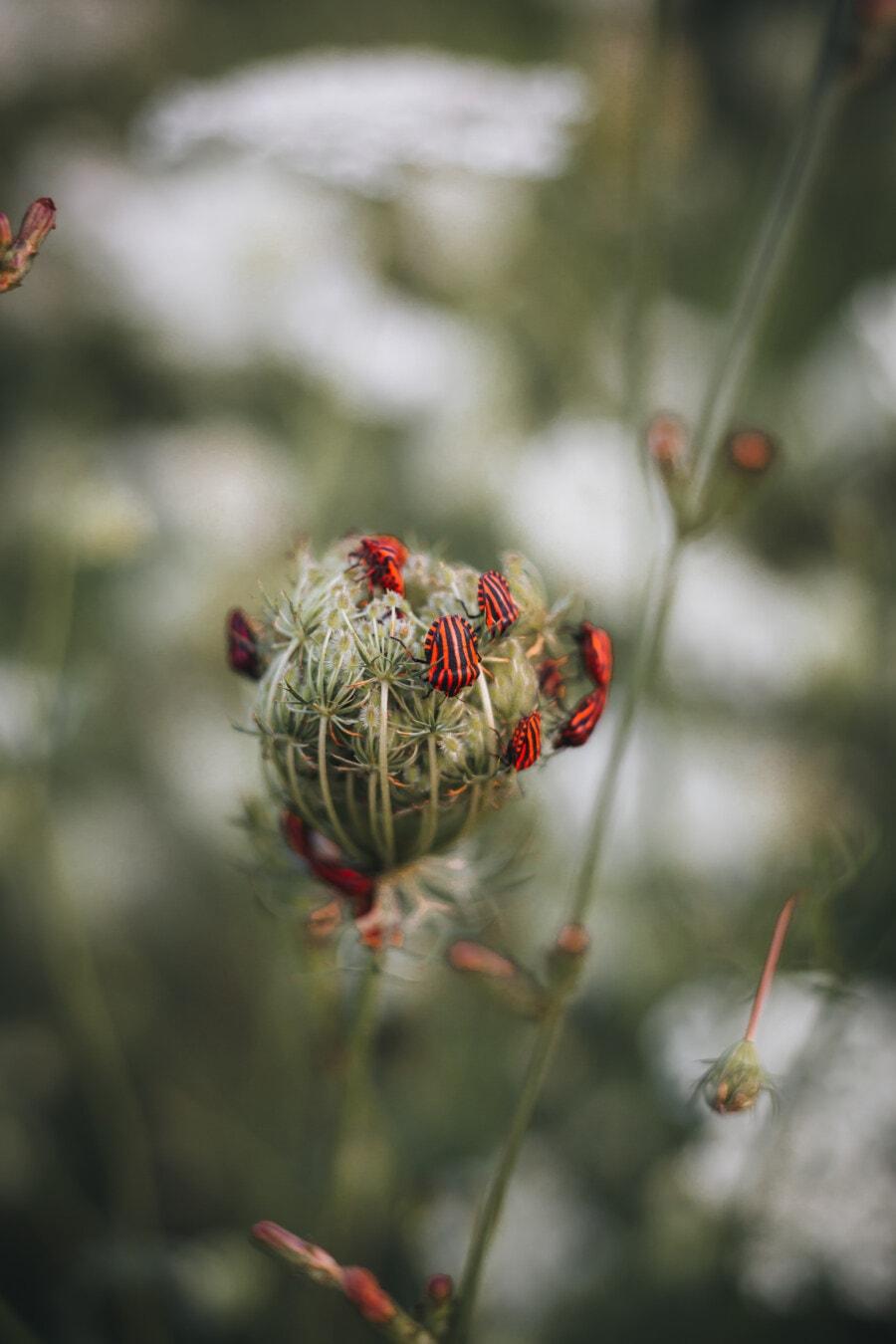 Schwarz, Käfer, dunkelrot, Insekt, Natur, Blume, Anlage, verwischen, Flora, im freien