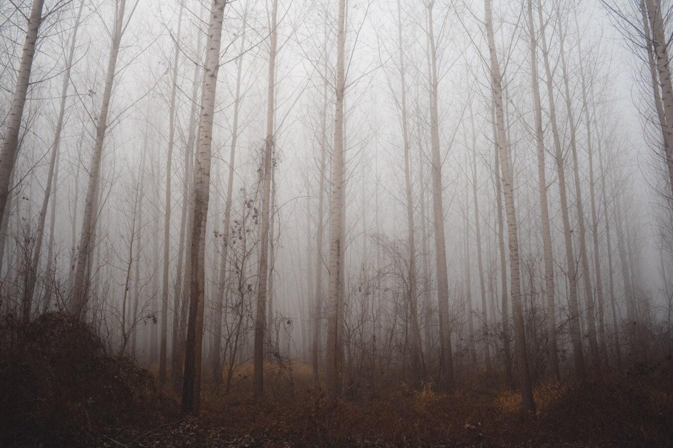 brumeux, forêt, bois, peuplier, arbres, brume, matin, brouillard, paysage, arbre