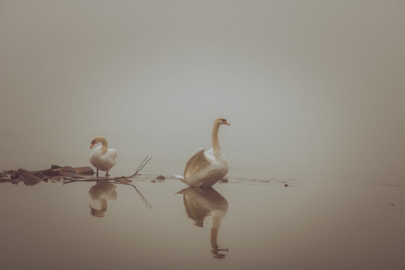 Landschaft, neblig, majestätisch, Anmut, Schwan, Vögel, Wasser, Reflexion, See, Vogel