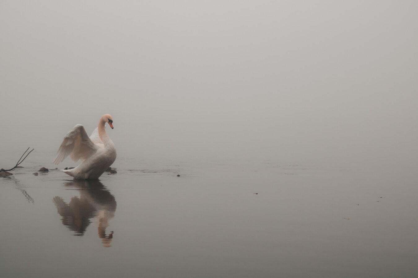 cygne, ailes, majestueux, oiseau, brumeux, matin, brouillard, brume, faune, Lac