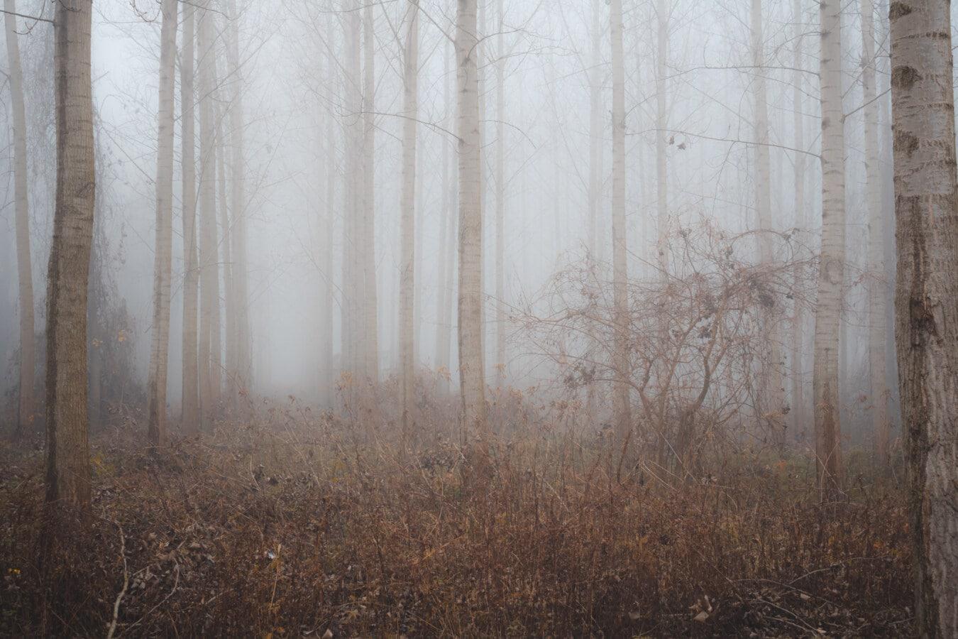 froide, matin, forêt, brumeux, saison de l'automne, aube, brouillard, bois, brume, sombre