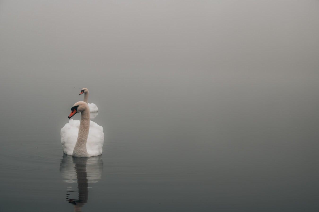 maestoso, Cigno, nebbioso, atmosfera, nebbia, Lakeside, uccello, acqua, Lago, Alba