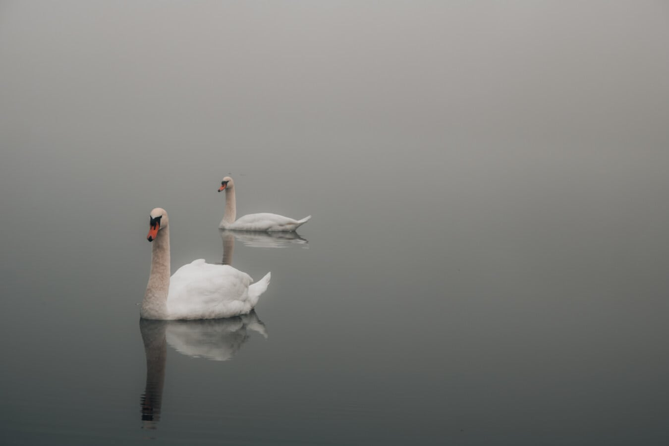 crépuscule, brumeux, cygne, piscine, oiseaux, sauvagine, en volant, oiseau, oiseaux aquatique, Lac