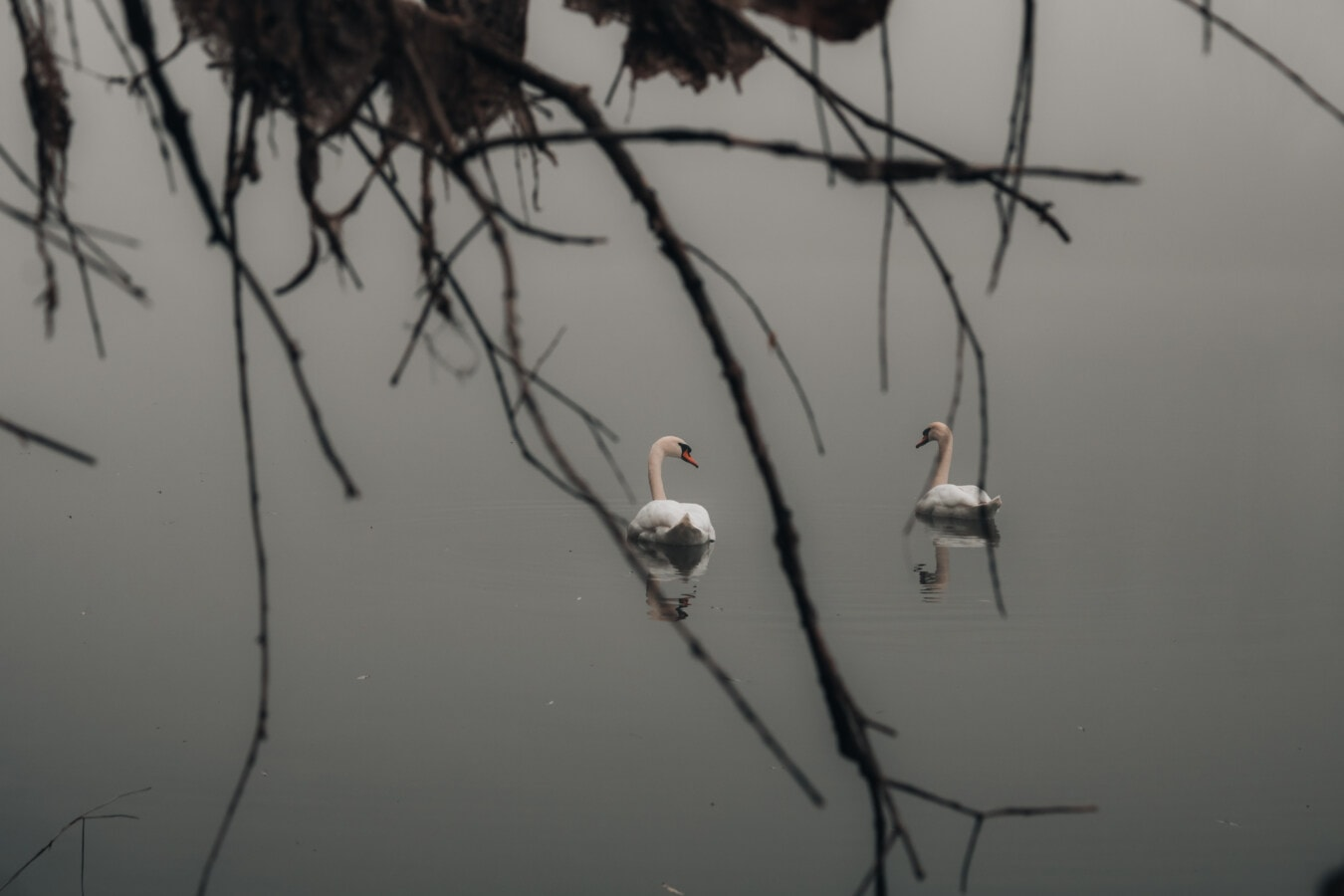 Cigno, nebbia, nebbia, mattina, uccello, albero, ramo, natura, acqua, fauna selvatica