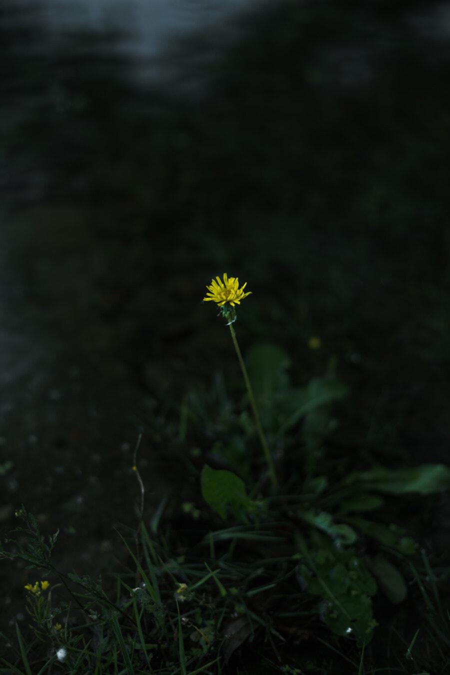 varjo, pimeys, Voikukka, tummanvihreä, Vihreät lehdet, kukka, kukka, yrtti, keltainen, niitty