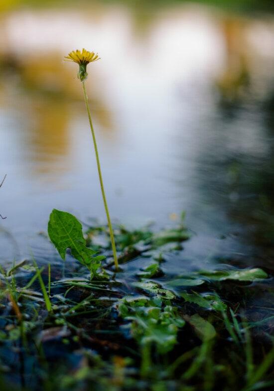 Voikukka, joen penkka, tulva, tulva, vesi, kasvi, vedessä, vedessä kasvien, joki, maisema