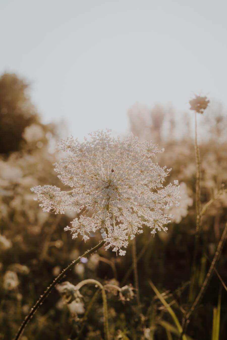 дневна светлина, Съншайн, Слънчев, бели цветя, диви цветя, стволови, тревисти, цвете, растителна, билка