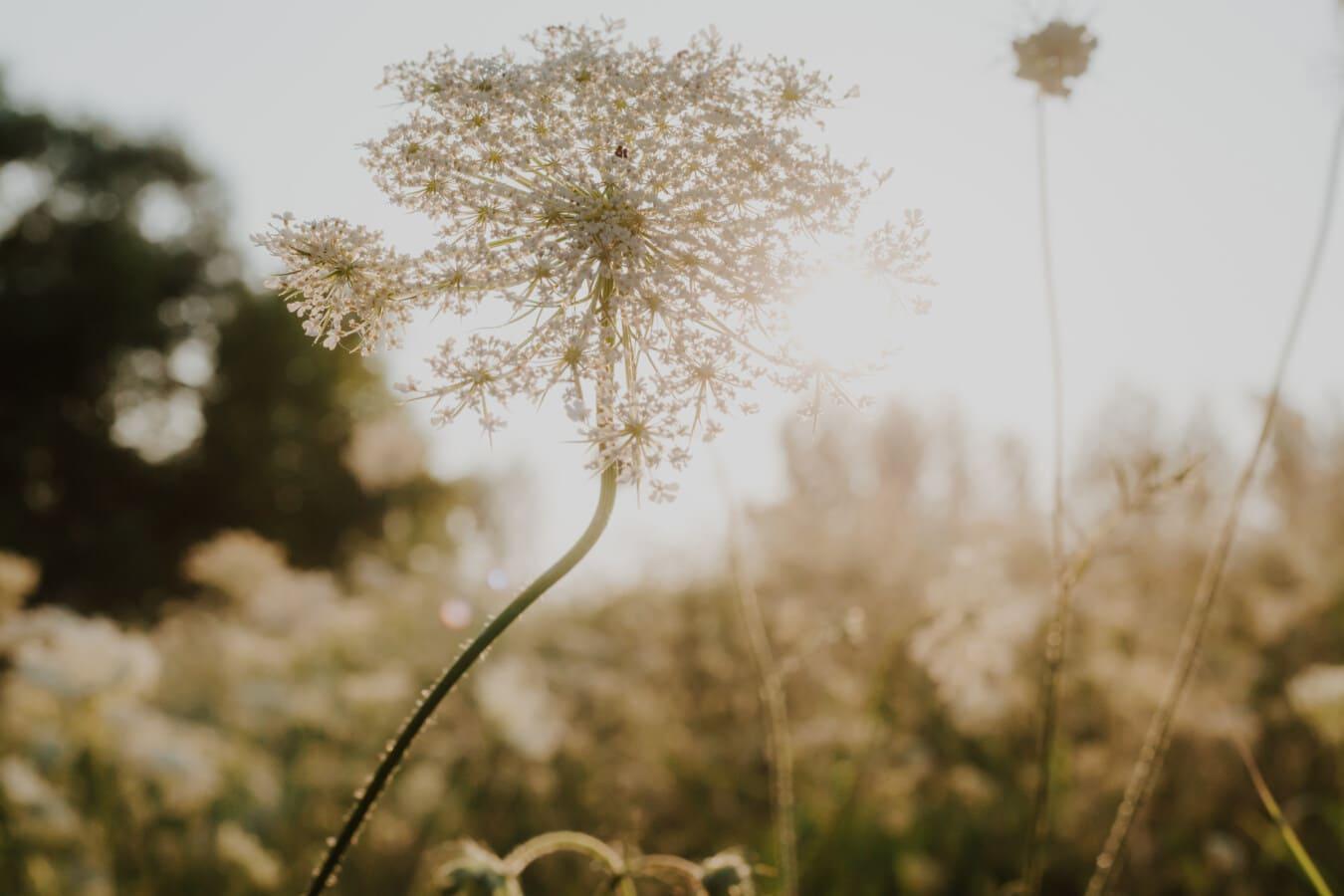 fleurs sauvages, fleur blanche, rayons de soleil, ensoleillement, ensoleillée, rétro-éclairé, fermer, épanouissement, plante, herbe