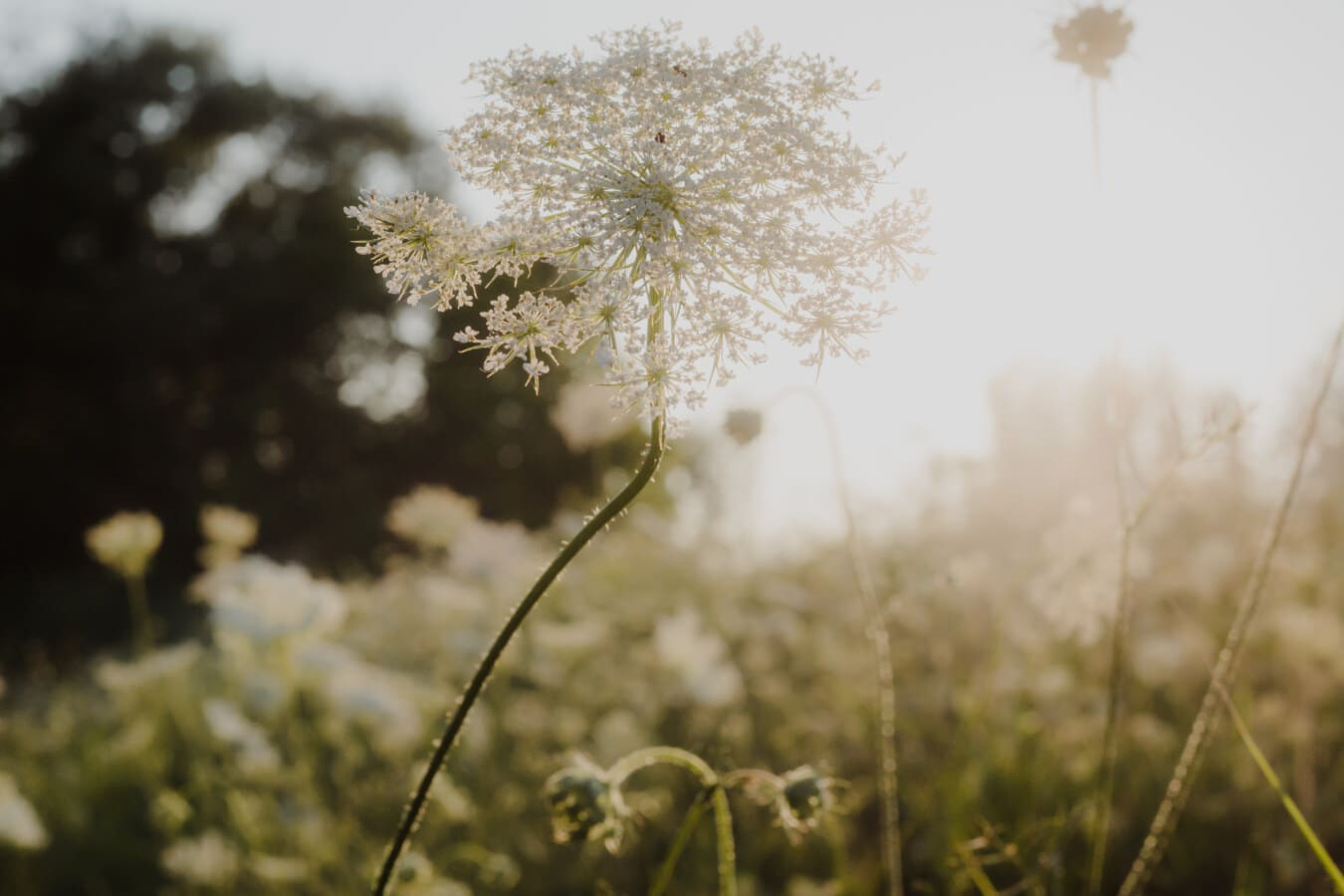 Wildblumen, weiße Blume, Sonnenstrahlen, Sonnenschein, hinterleuchtet, sonnig, Sommersaison, Anlage, Kraut, Landschaft