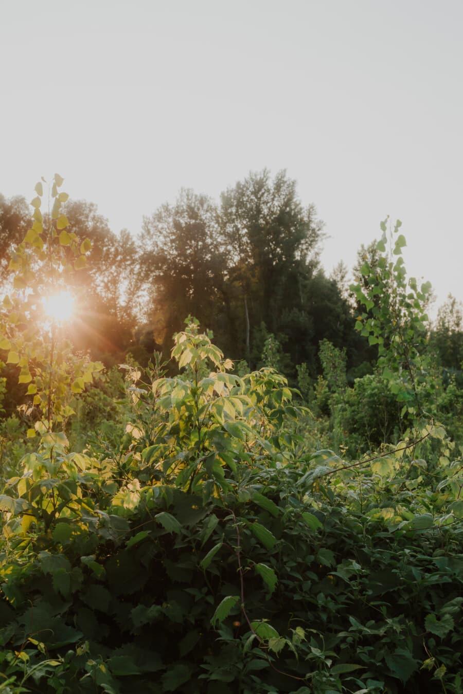 sunrays, sunshine, sunny, forest, bushes, branches, greenery, plant, landscape, leaf