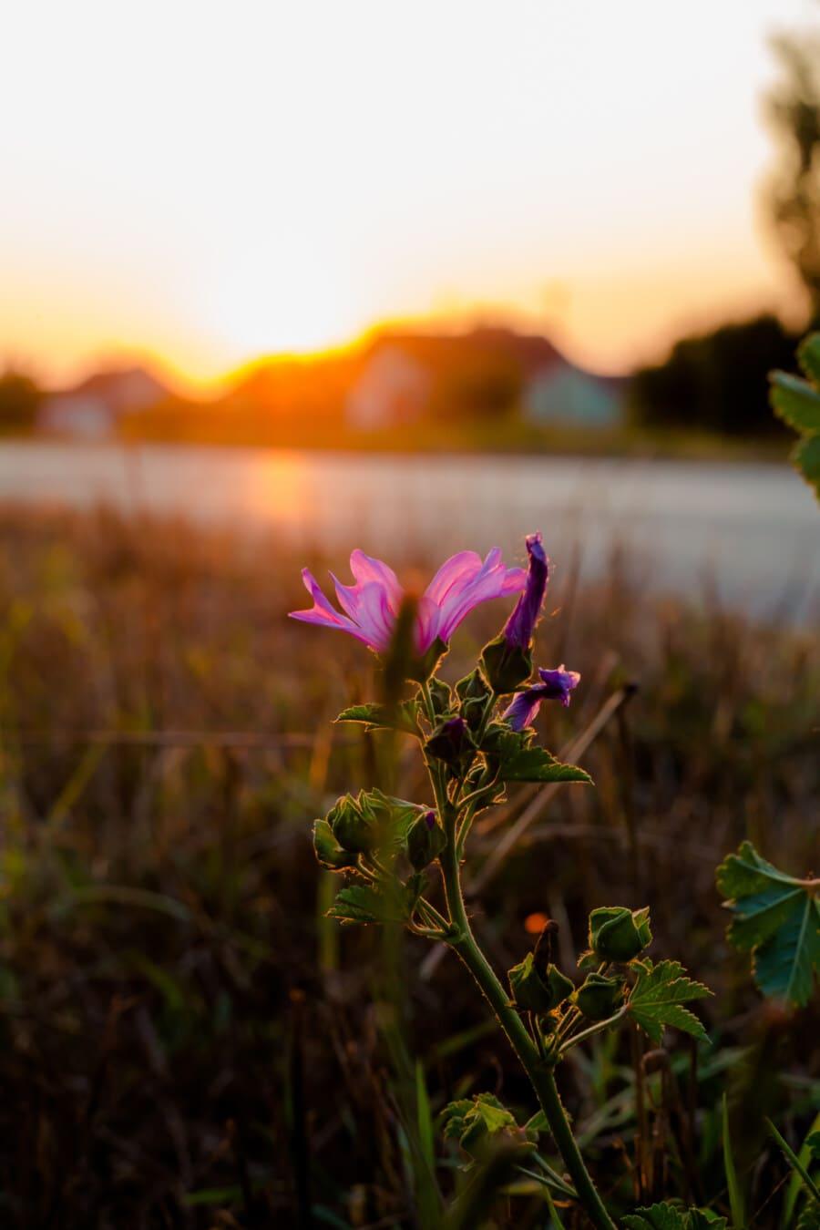 fleurs sauvages, violacé, coucher de soleil, ensoleillement, rural, Itinéraire, fleur, pétale, rose, printemps