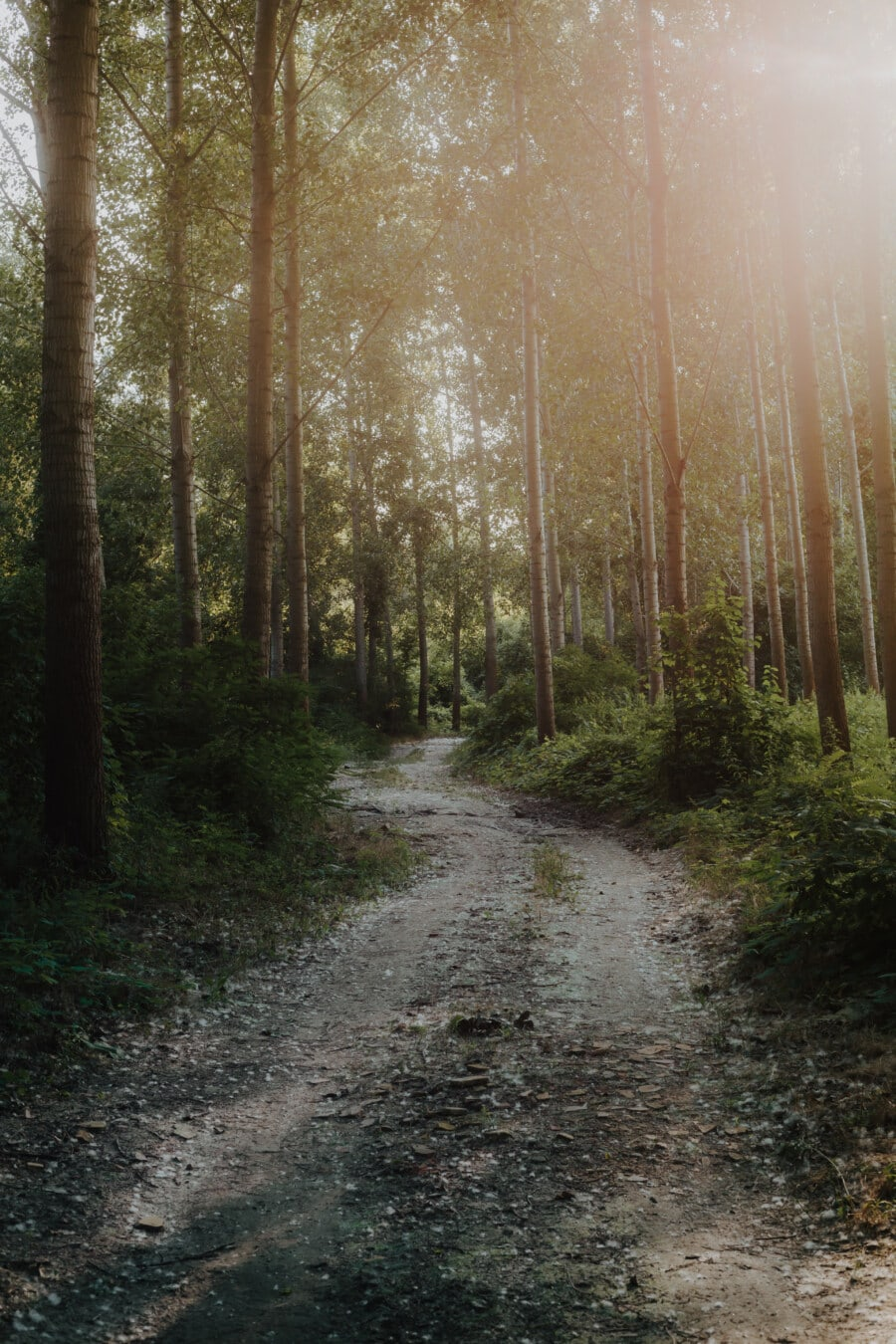 sunčano, šumska cesta, drvo, park, stabla, krajolik, šuma, šume, put, list